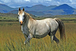 Arab Mare in the Veld